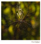 Title: The golden silk orb-weaversNikon D80