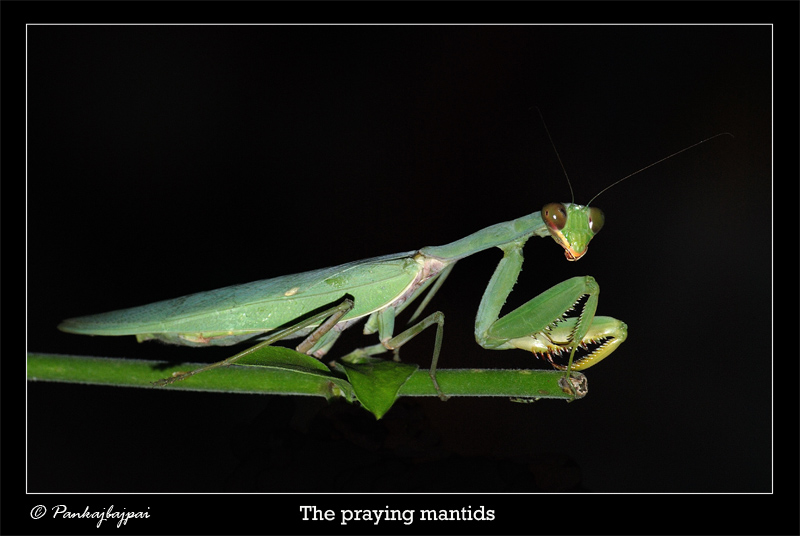 Portrait of Mantis