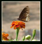 Title: Common Crow (Euploea core)
