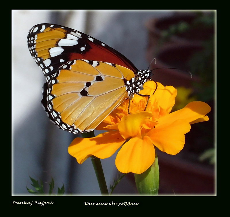 The Plain Tiger (1) (Danaus chrysippus)