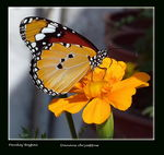 Title: The Plain Tiger (1) (Danaus chrysippus)