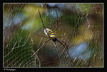 Title: The Nephila Maculata