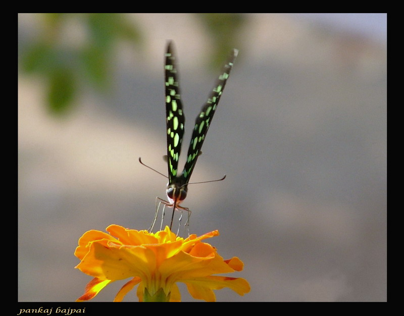 Tailed Jay (Frontal View)