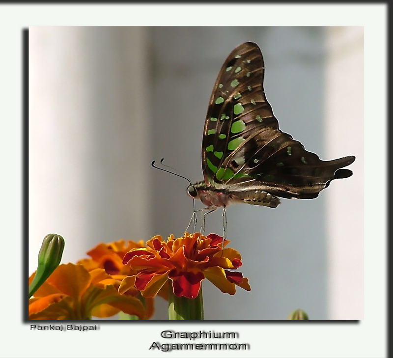 The Tailed Jay (2) (Graphium agamemnon)