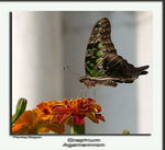 Title: The Tailed Jay (2) (Graphium agamemnon)
