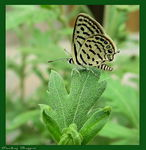 Title: Common Pierrot (Castalius rosim)