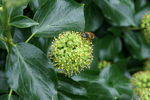 Title: Bee on Hedera helix 'Arborescens'Konica Minolta Dynax 7D