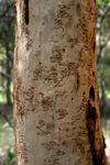 Title: Scribbly Gum
