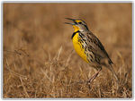 Title: Eastern Meadowlark in in Enviroment