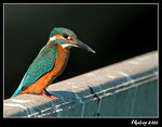 Title: The King Fisher