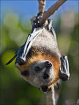 Title: Flying FoxCanon 30D