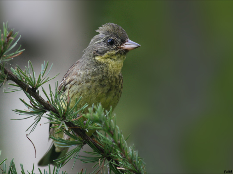 1st Black-faced Bunting