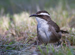 Title: 1st White-browed Babbler