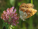 Title: Lesser Marbled Fritillary