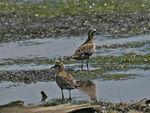 Title: Pacific Golden Plovers