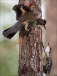 Title: fighting Treecreepers