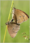 Title: Mating Ringlets