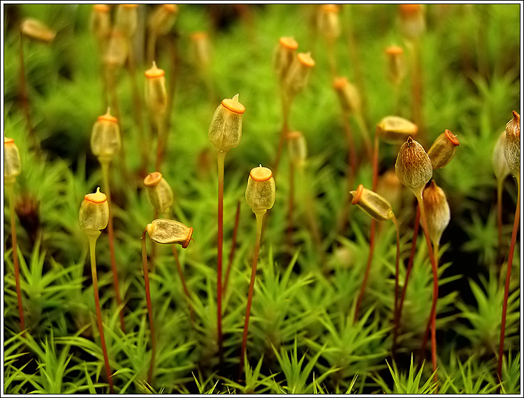Treknature Polytrichum Commune Photo