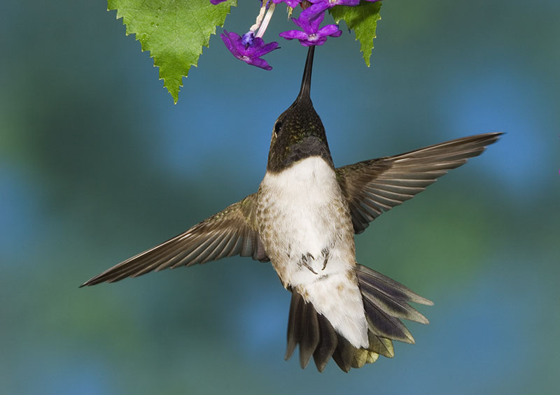 Black Chinned Hummingbird (Male)