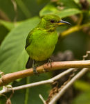 Title: Green Honey Creeper female