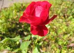 Title: red roseCanon PowerShot A60