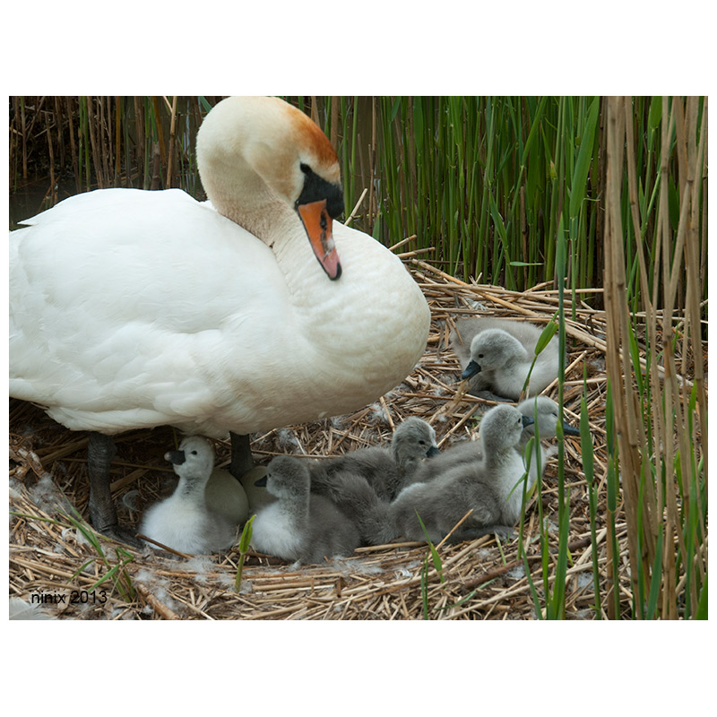 Swan on nest with sygnets