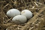 Title: 3 swan eggs today