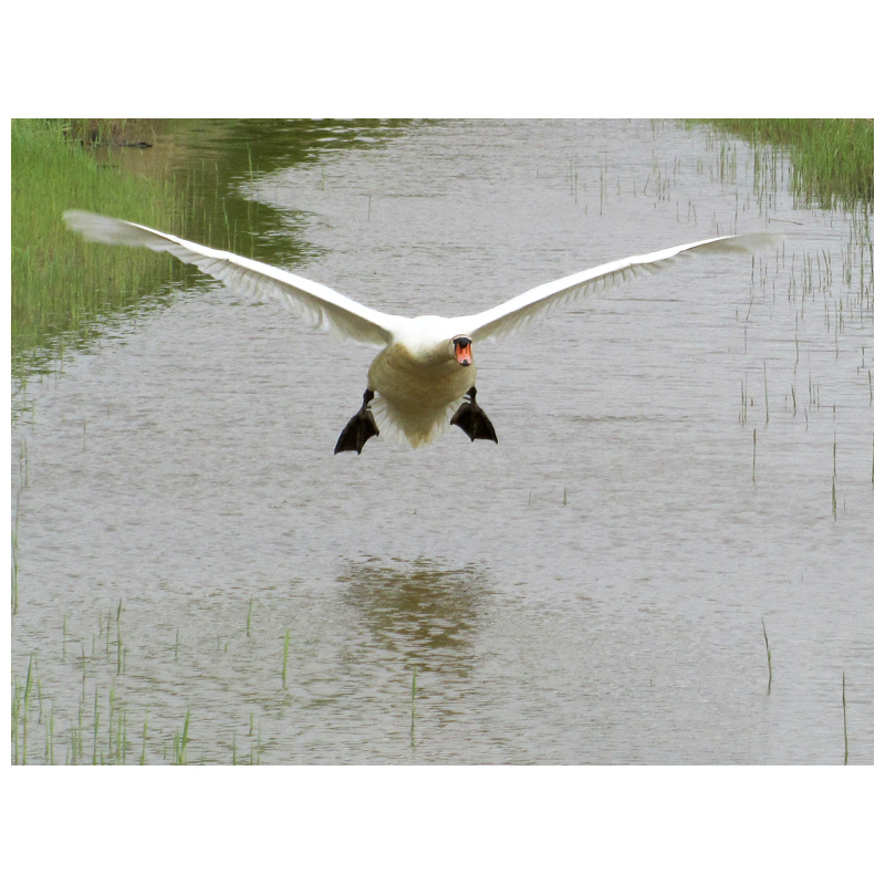 The flight of the swan