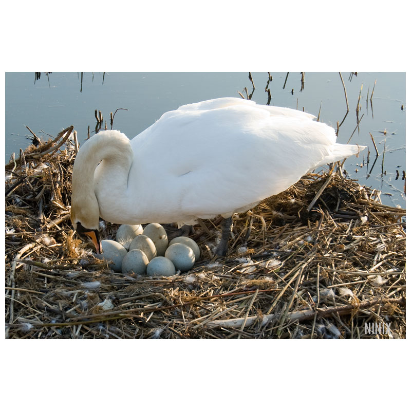 8 eggs for the swans!