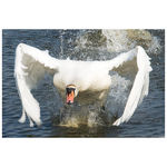 Title: Meeting the swan (200)