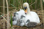 Title: One day old swans with mother