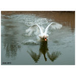 Title: angry swan