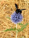 Title: Black bee on blue ball