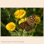 Title: Speckled Wood - Pararge aegeria