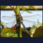 Title: DRAGONFLY SLEEPING