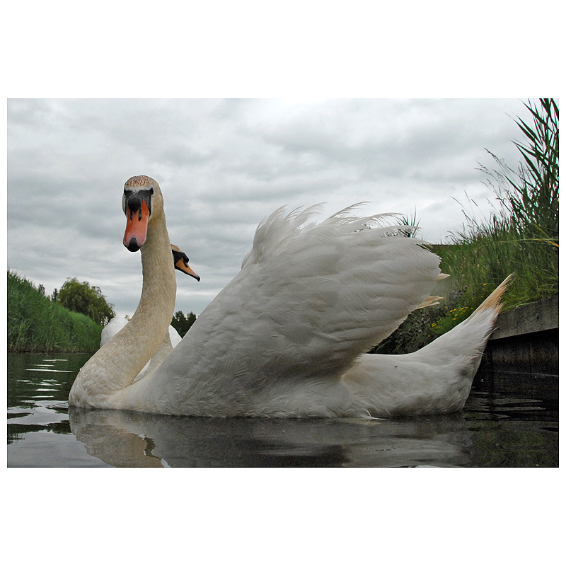 Mighty male swan