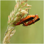 Title: Cantharis fusca