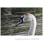 Title: Young mute swan 10 months