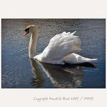 Title: Wing Show of mute swan