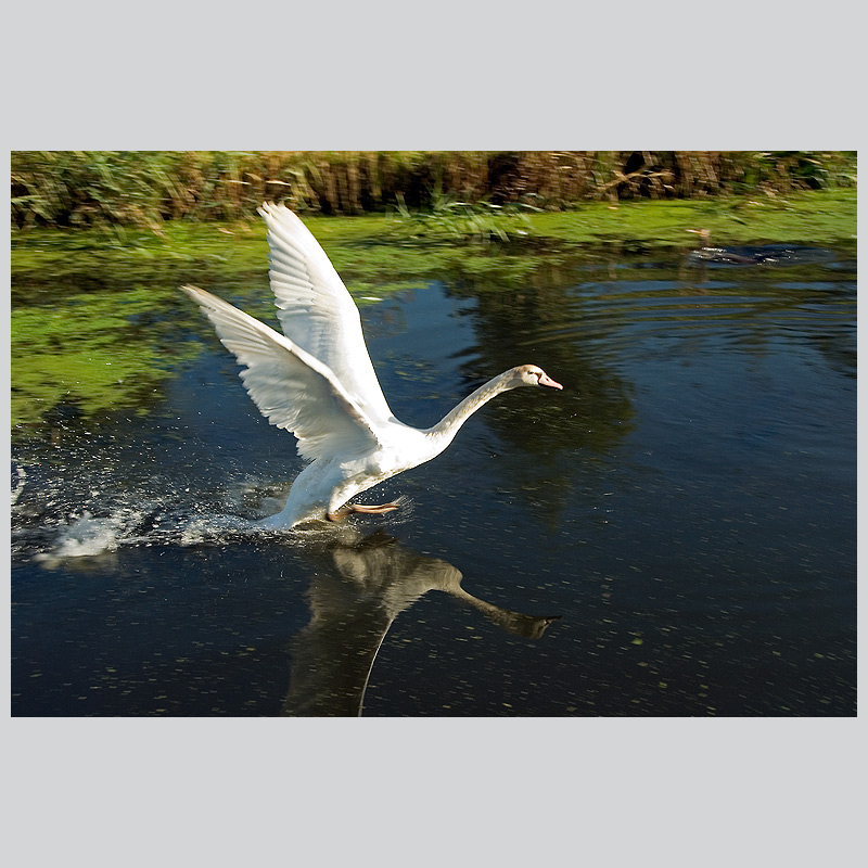 Flying exercise of young swan Blondy