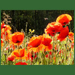 Title: Poppies & 1 Bee