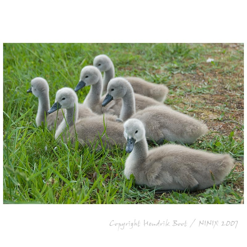 litle swans in the grass
