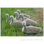 Title: litle swans in the grass