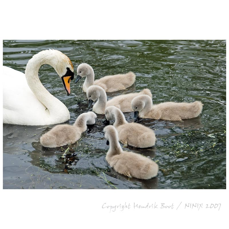 mother swan with kids
