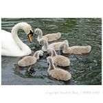 Title: mother swan with kids
