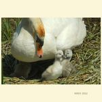 Title: MOTHER SWAN ON NEST WITH SYGNETS