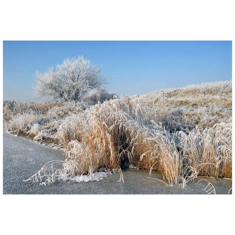 Frozen reed and tree