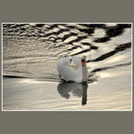 Title: Swan swimming at sunset
