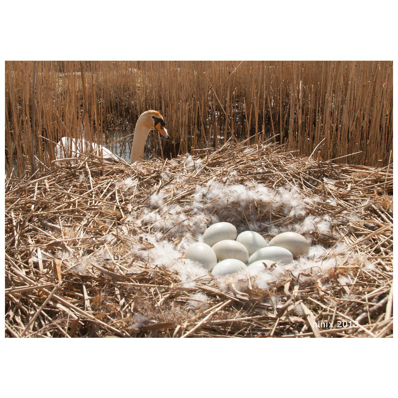 Swannest with eight eggs
