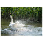 Title: Swan taking bath